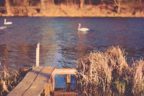 天性, 斜坡, 水, 水鳥 的 免費圖庫相片