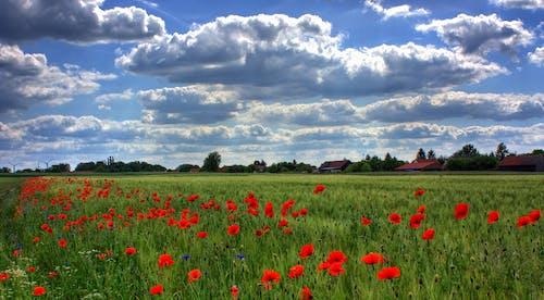 Imagine de stoc gratuită din câmp, cer, floră, flori
