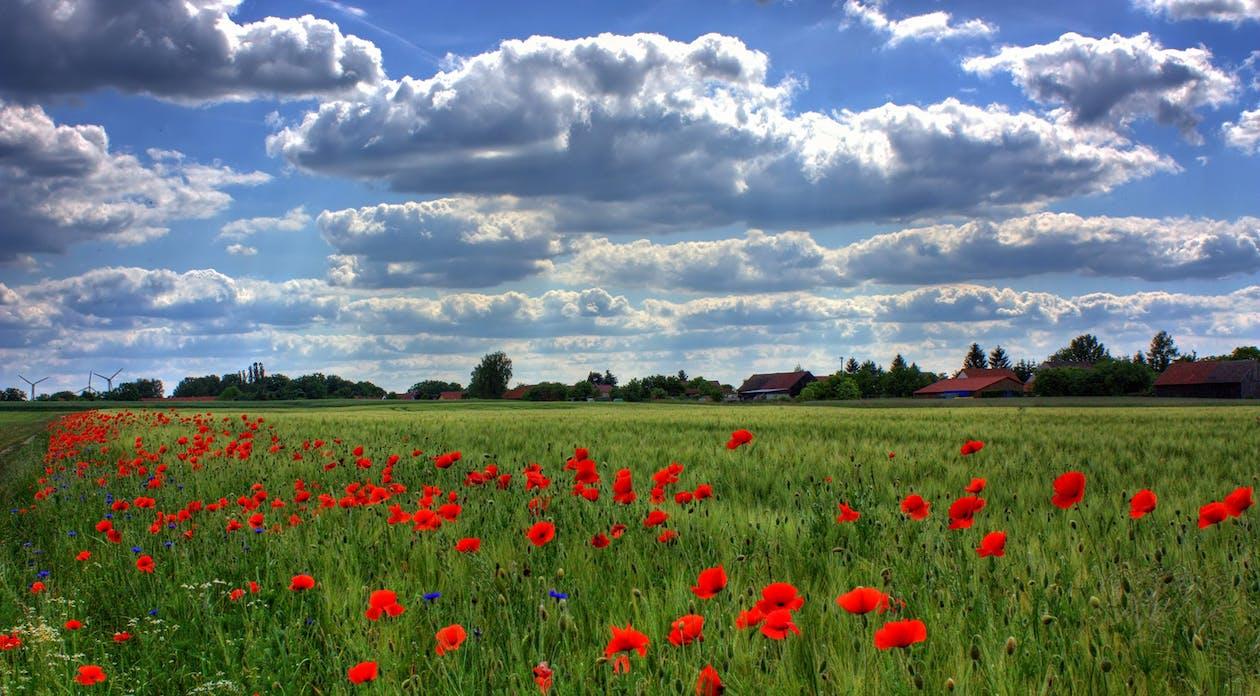 Red Flower Fields during Daytime