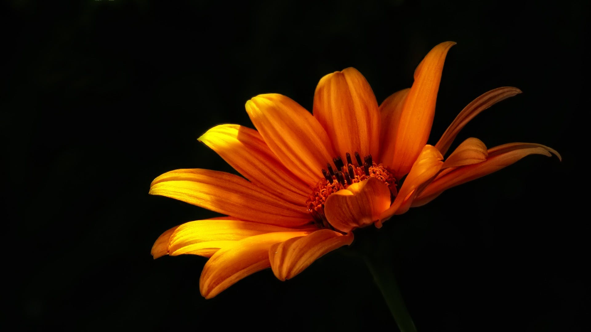 Close-up Photo of Orange Mexican Sunflower in Bloom