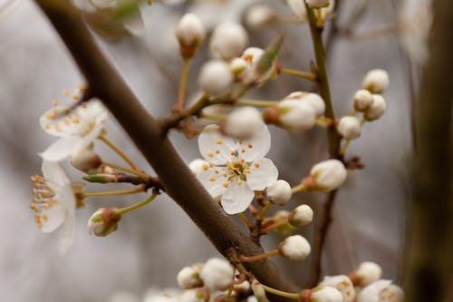 Foto d'estoc gratuïta de arbre, cirera, flor de cirerer