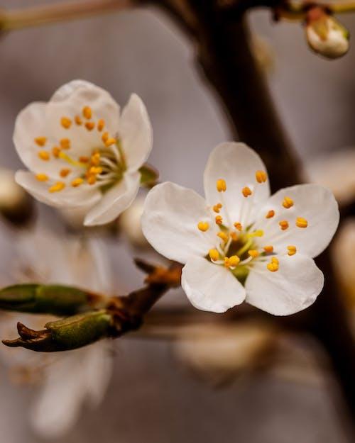 Foto d'estoc gratuïta de arbre, flor de cirerer, flors