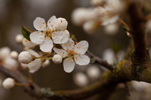 Foto d'estoc gratuïta de flor de cirerer