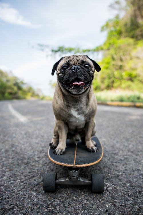 Pug Sitting on a Long Board