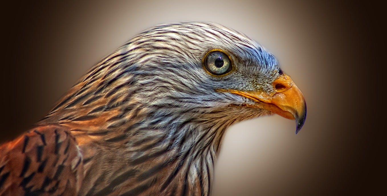 คลังภาพถ่ายฟรี ของ ขนนก, นกอินทรี, สัตว์, โคลสอัป