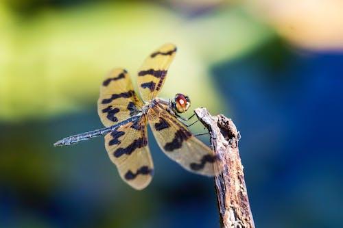 คลังภาพถ่ายฟรี ของ graphic flutterer dragonfly, rhyothemis graphiptera, กลางวัน, ติด