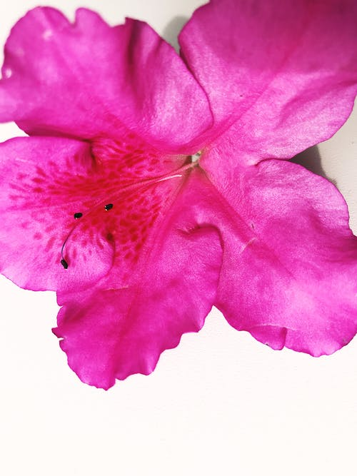 Close-Up Shot of a Pink Flower