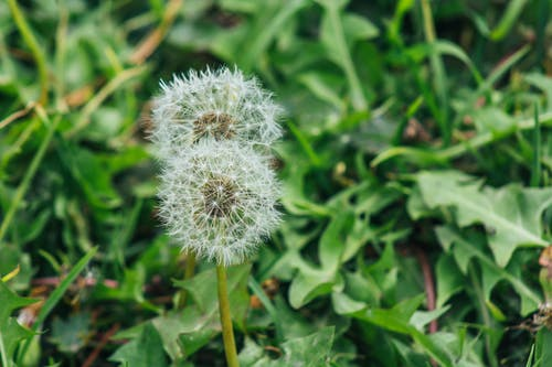 Foto d'estoc gratuïta de creixement, dent de lleó, flora, flors