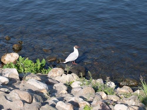 Бесплатное стоковое фото с белая птица, дикая птица, чайка