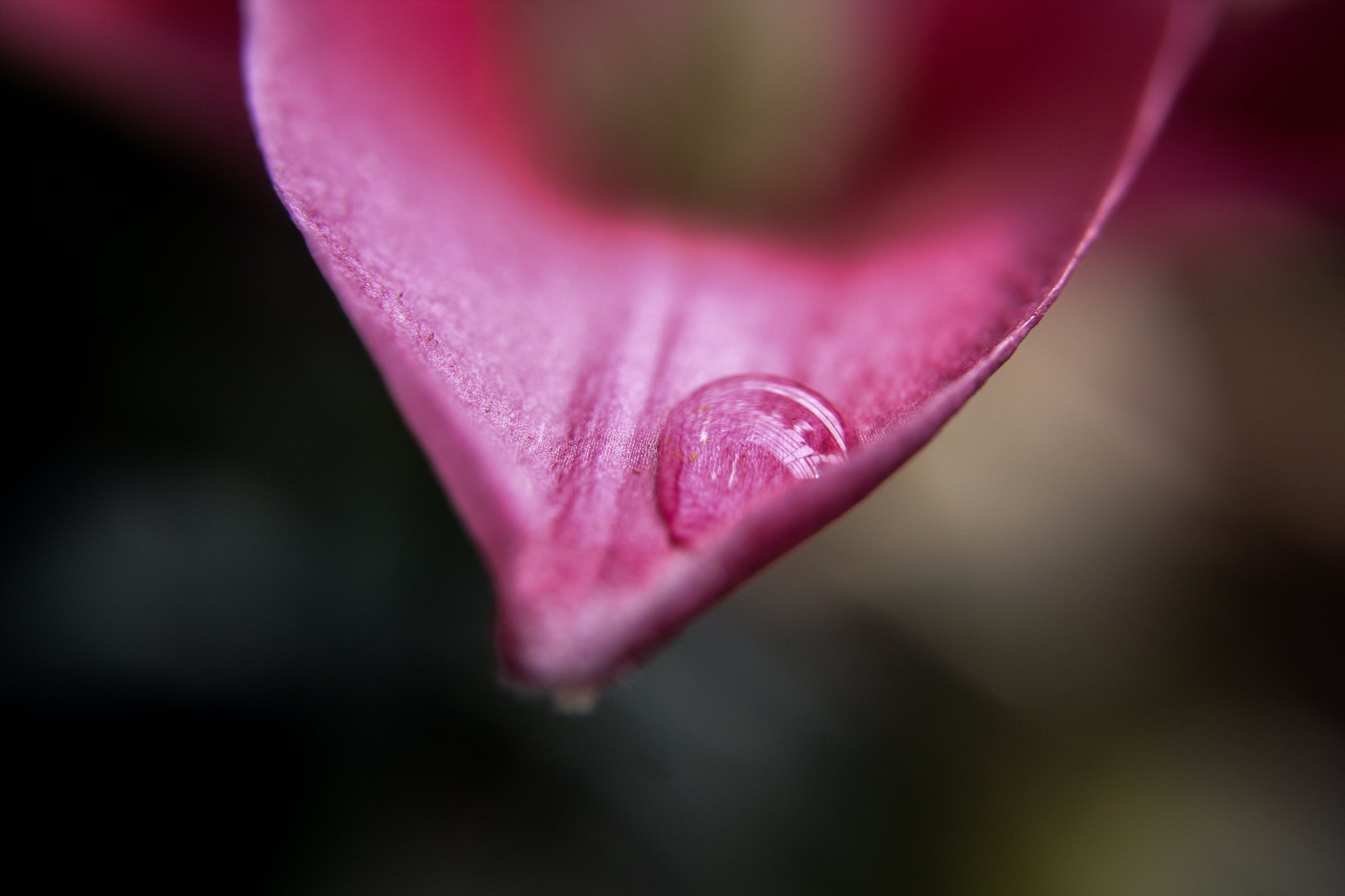 Selective Focus of Water Droplet on Red Petal of Flower
