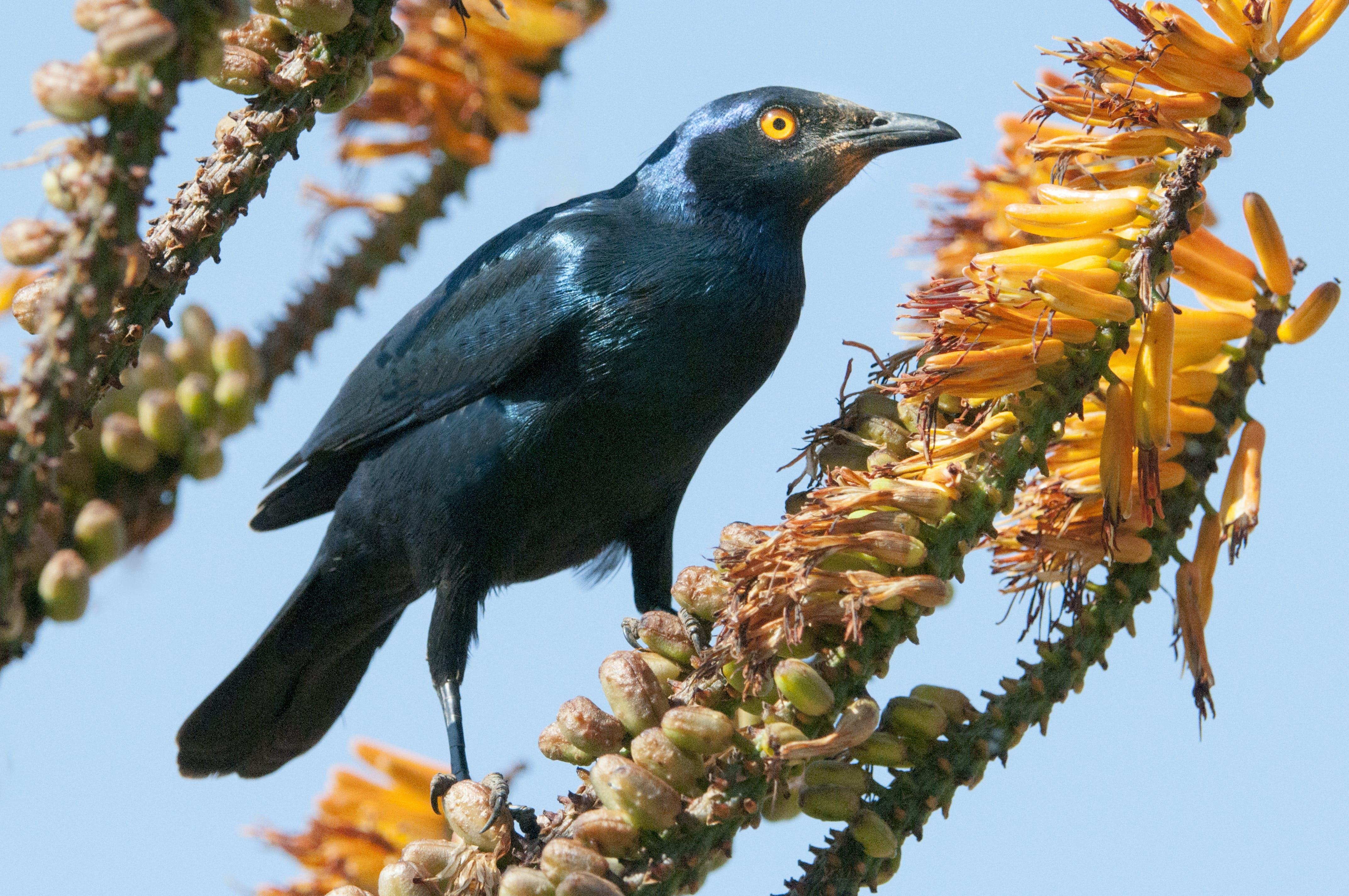 Free stock photo of bird, safari, nectar, wild bird