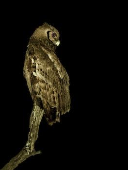 Free stock photo of bird, owl, wild life, wild bird