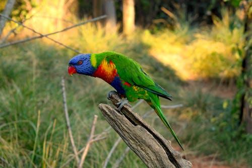 Free stock photo of colours, green, lori, parrot