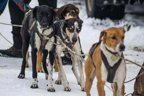 Бесплатное стоковое фото с зима, зимние виды спорта, собака, собачий спорт
