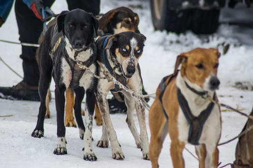 Kostnadsfri bild av hund, hundens släde, hundspann, hundsporter