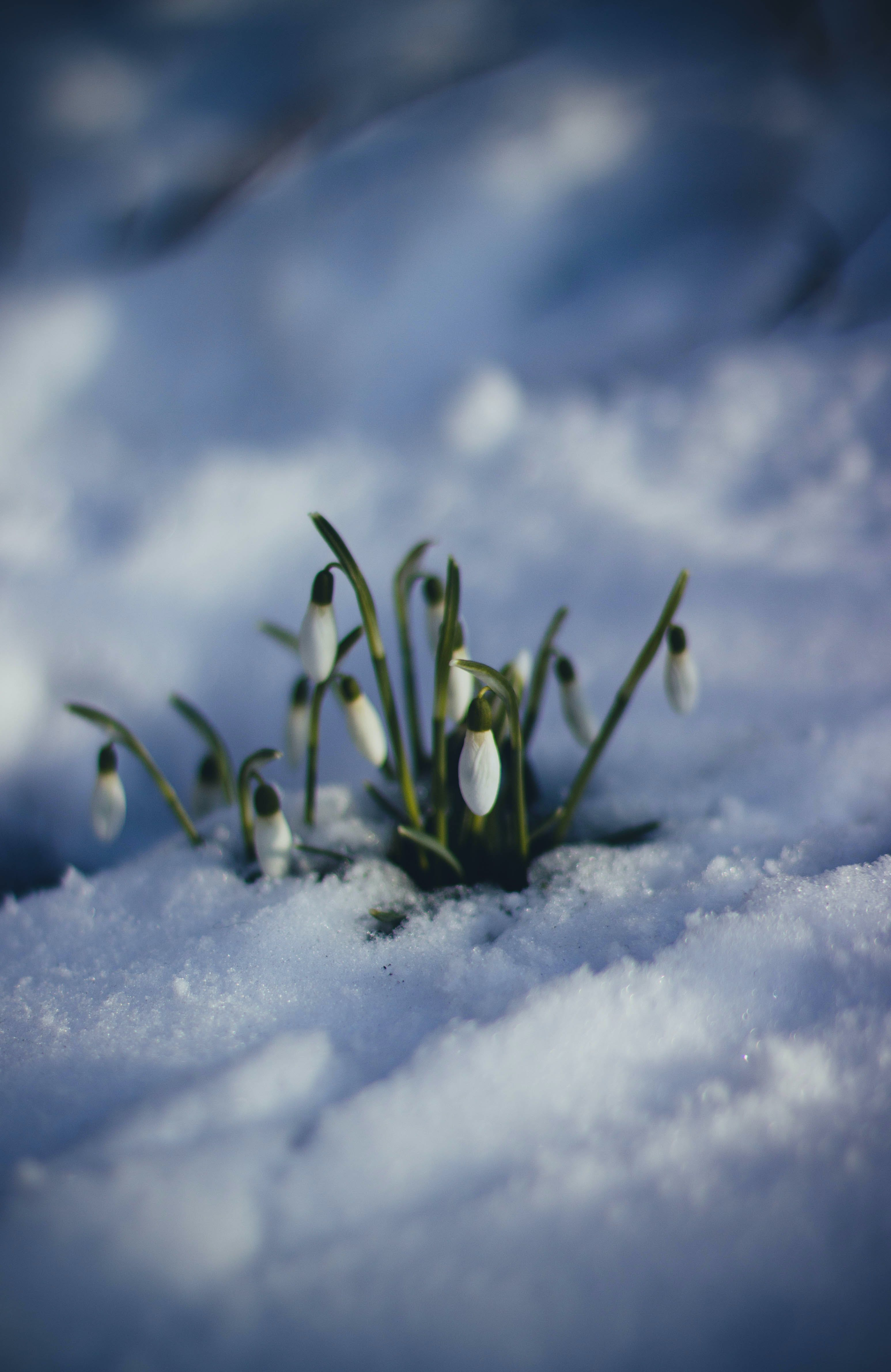 A small grouping of white flowers growing through snow.