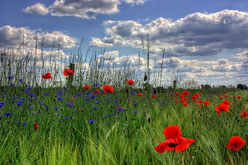 Red Petaled Flowers With Blue Petaled Flowers on a Field during Daytime