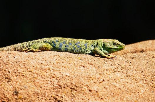 Kostenloses Stock Foto zu sand, tier, eidechse, reptil