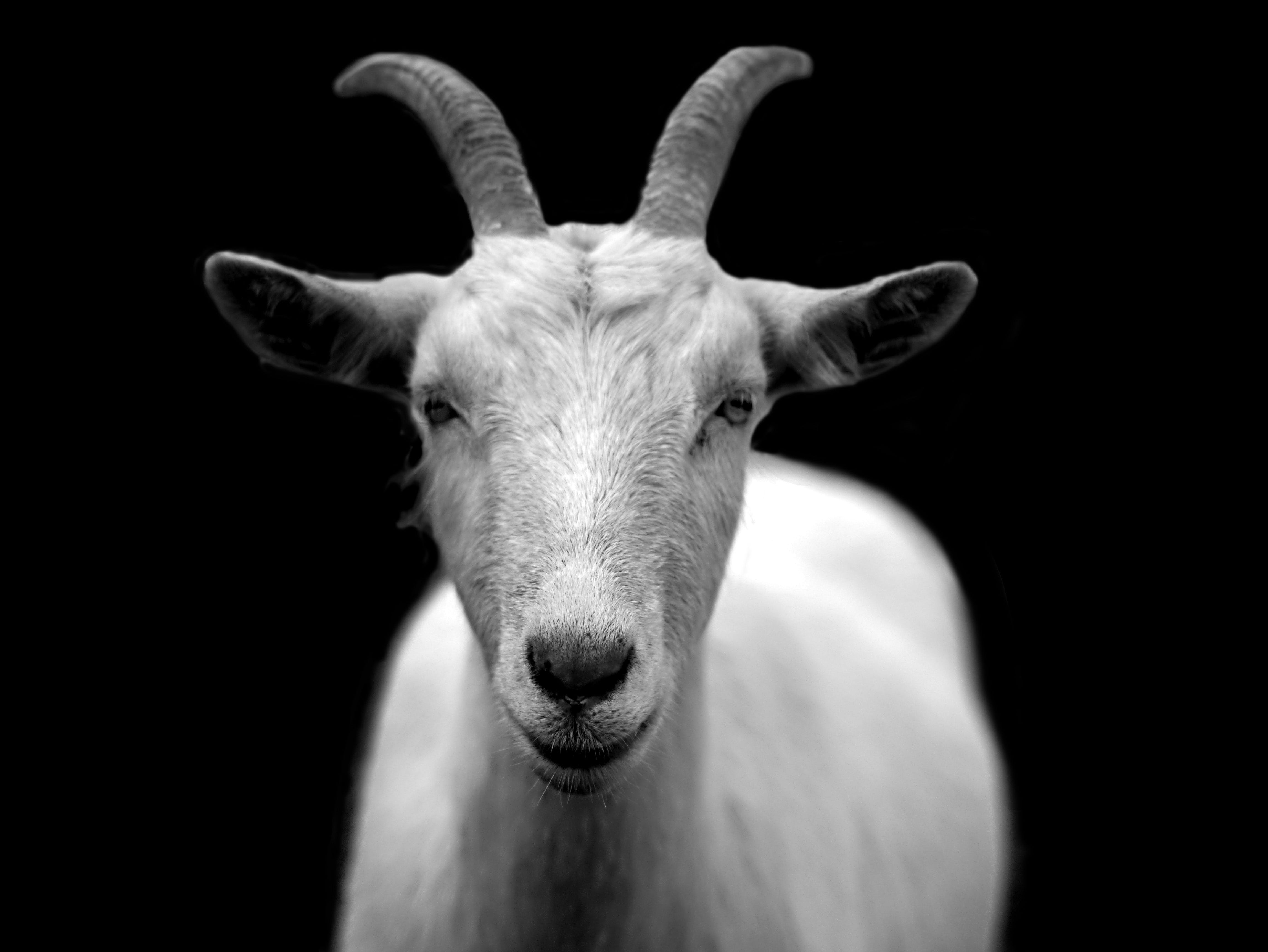 Gray Scale Photo of Goat