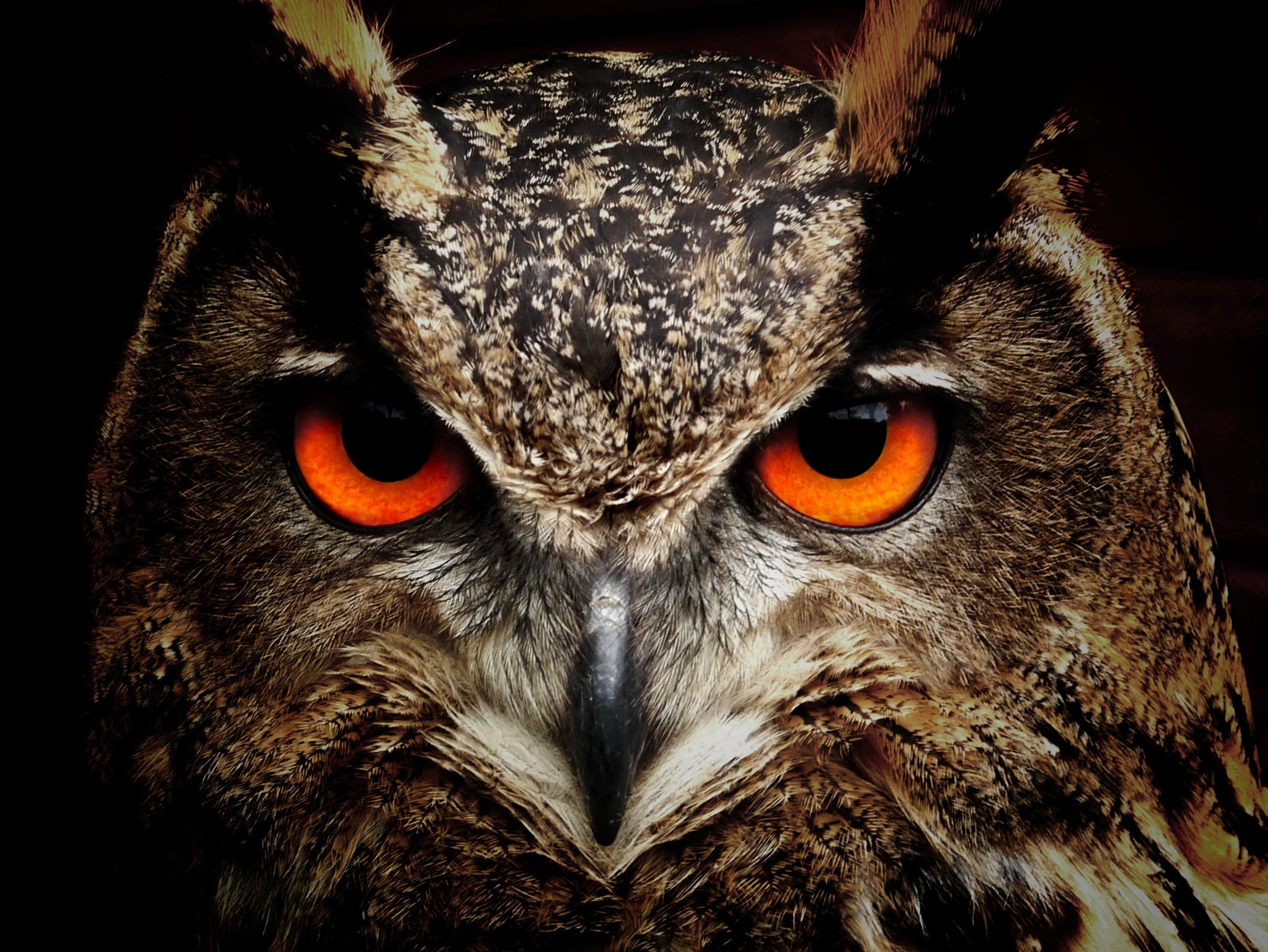 Brown and Black Owl Staring