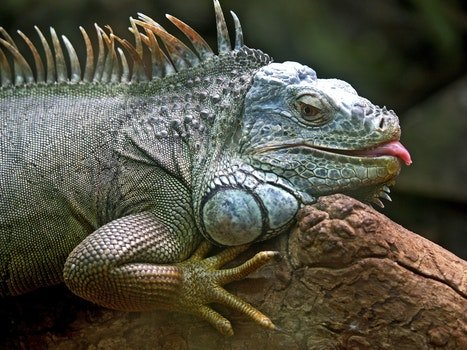 Gray and Brown Iguana