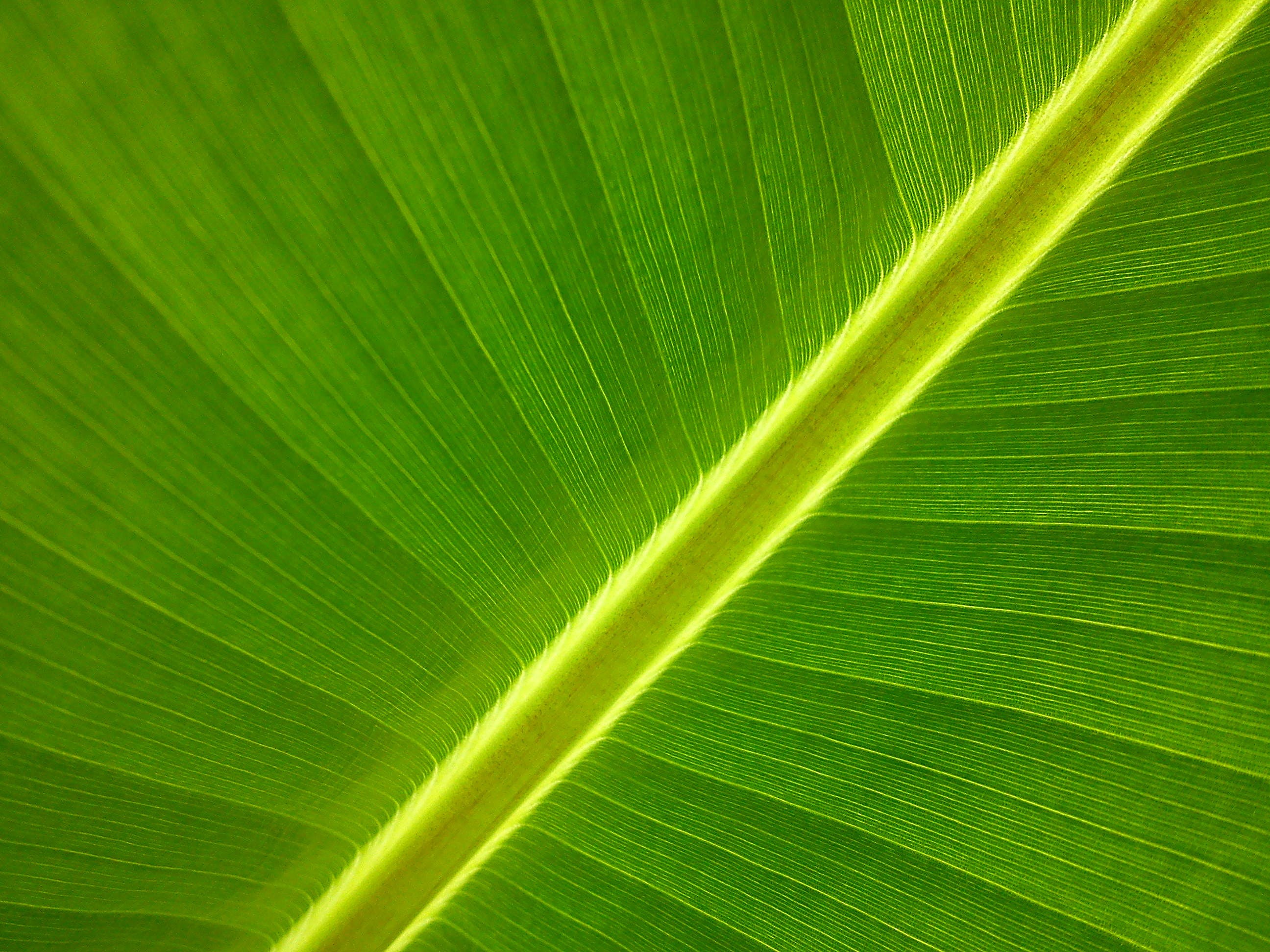 Free stock photo of garden, leaf, royalty free, banana tree