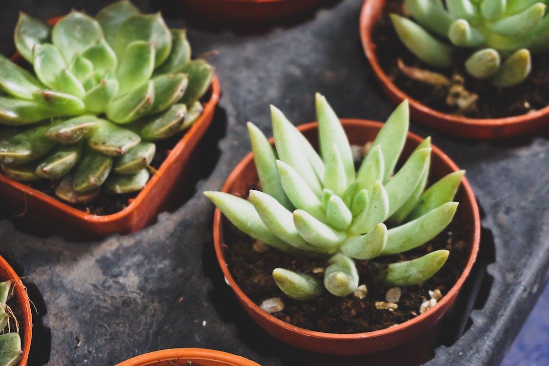 İki Yeşil Etli Bitki