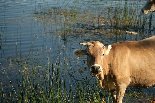 Brown Cow on Green Grass Field Near the Swamp