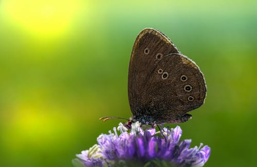 Brown Butterfly Perched on a Purple Flower