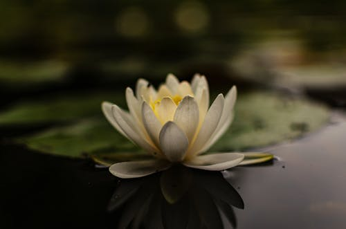 Close-Up Shot of a Blooming Water Lily Floating