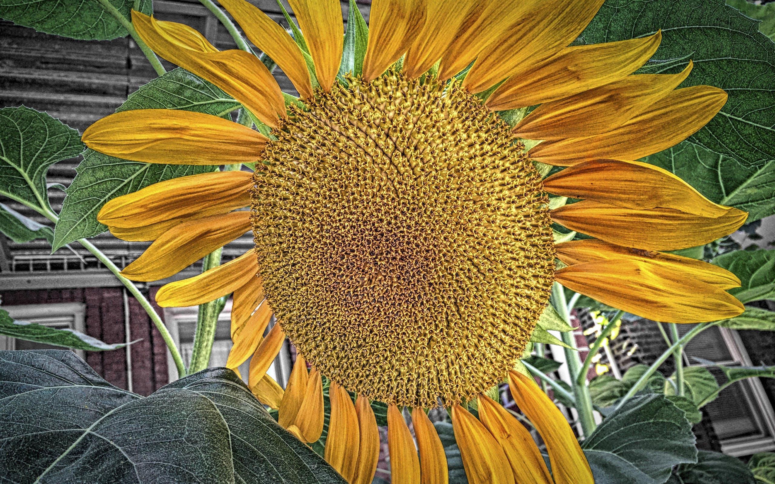 iphone 5s, 太陽の花, 自然の壁紙, 花の壁紙の無料の写真素材
