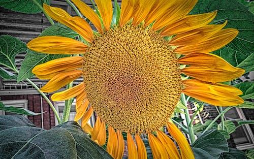 คลังภาพถ่ายฟรี ของ ดอกทานตะวัน, ดอกไม้สีเหลือง, วอลล์เปเปอร์ดอกไม้, วอลล์เปเปอร์ธรรมชาติ