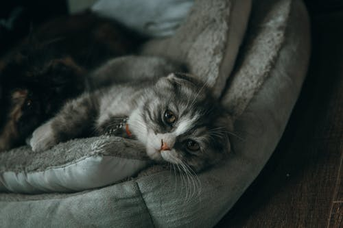 Close-up Photo of Gray and White Cat Lying on Gray Pillow