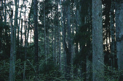 Free stock photo of forest, nature, pine