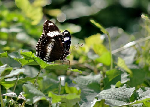 Close-Up Shot of a Black Butterfly on a Leaf