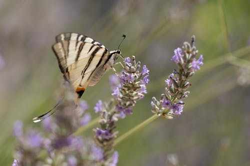 Close-Up Shot of a Butterfly on a Lavender
