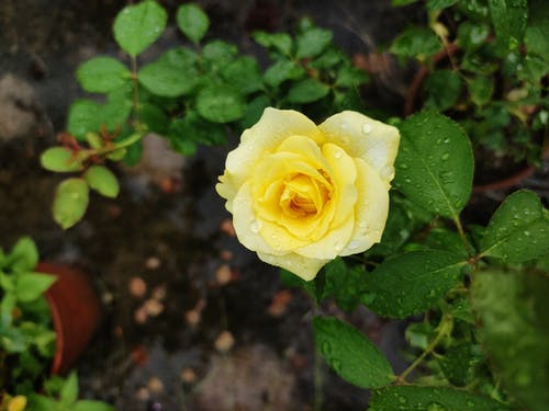 Close-Up Shot of a Yellow Rose