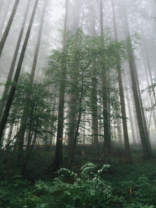 Free stock photo of daylight, fog, foggy, forest