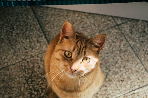 Close-Up Shot of a Domestic Short-Haired Cat