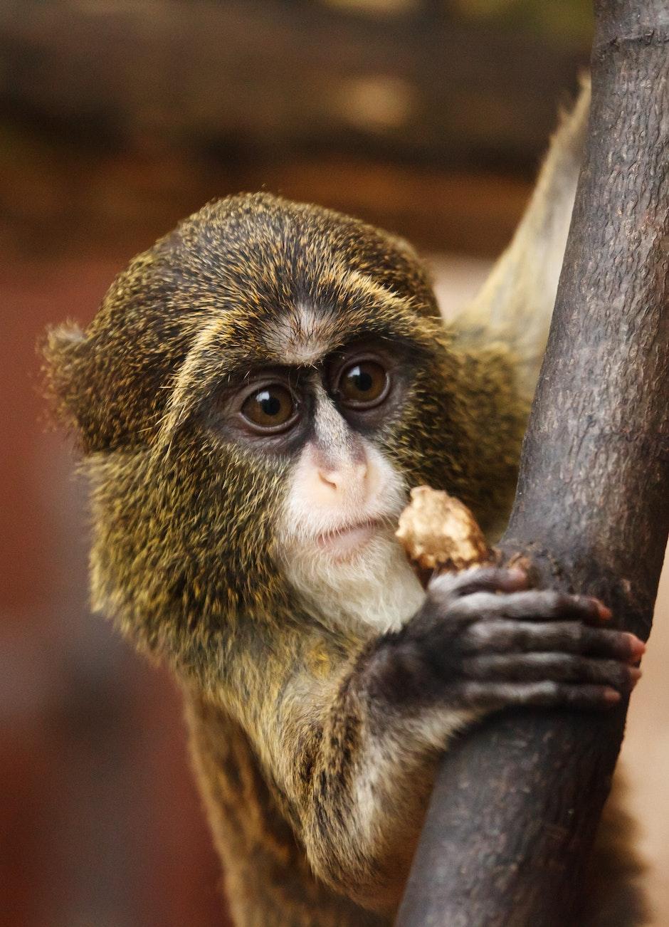 Brown and Black Monkey Handing Brown Fruit during Daytime