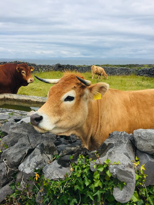 Brown Cow on Gray Rock