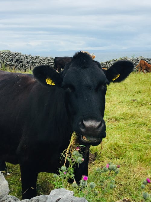 Free stock photo of black cow, cow, cow eating