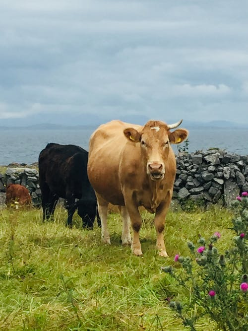 Free stock photo of brown cow, cow with one horn