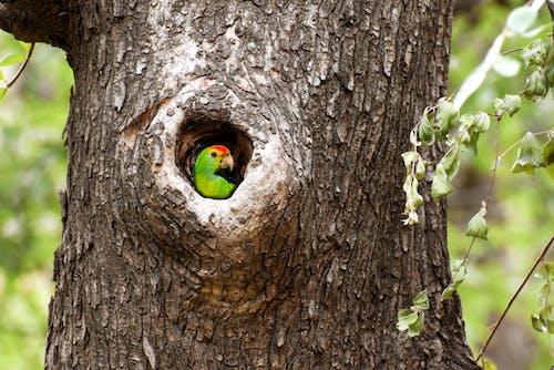 Fotos de stock gratuitas de árbol hueco, asomándose, aviar