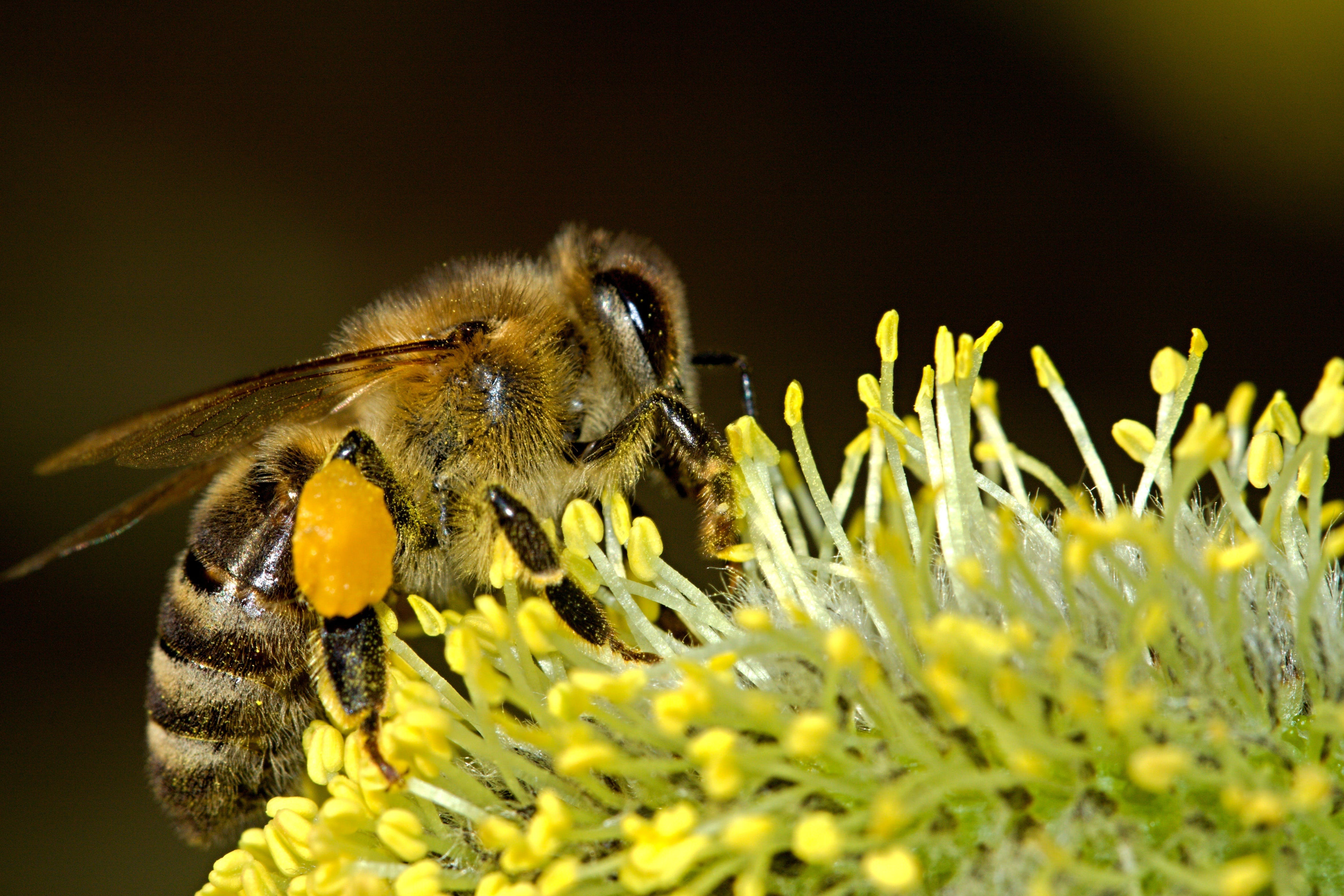 Honey Bee Zipping a Plant