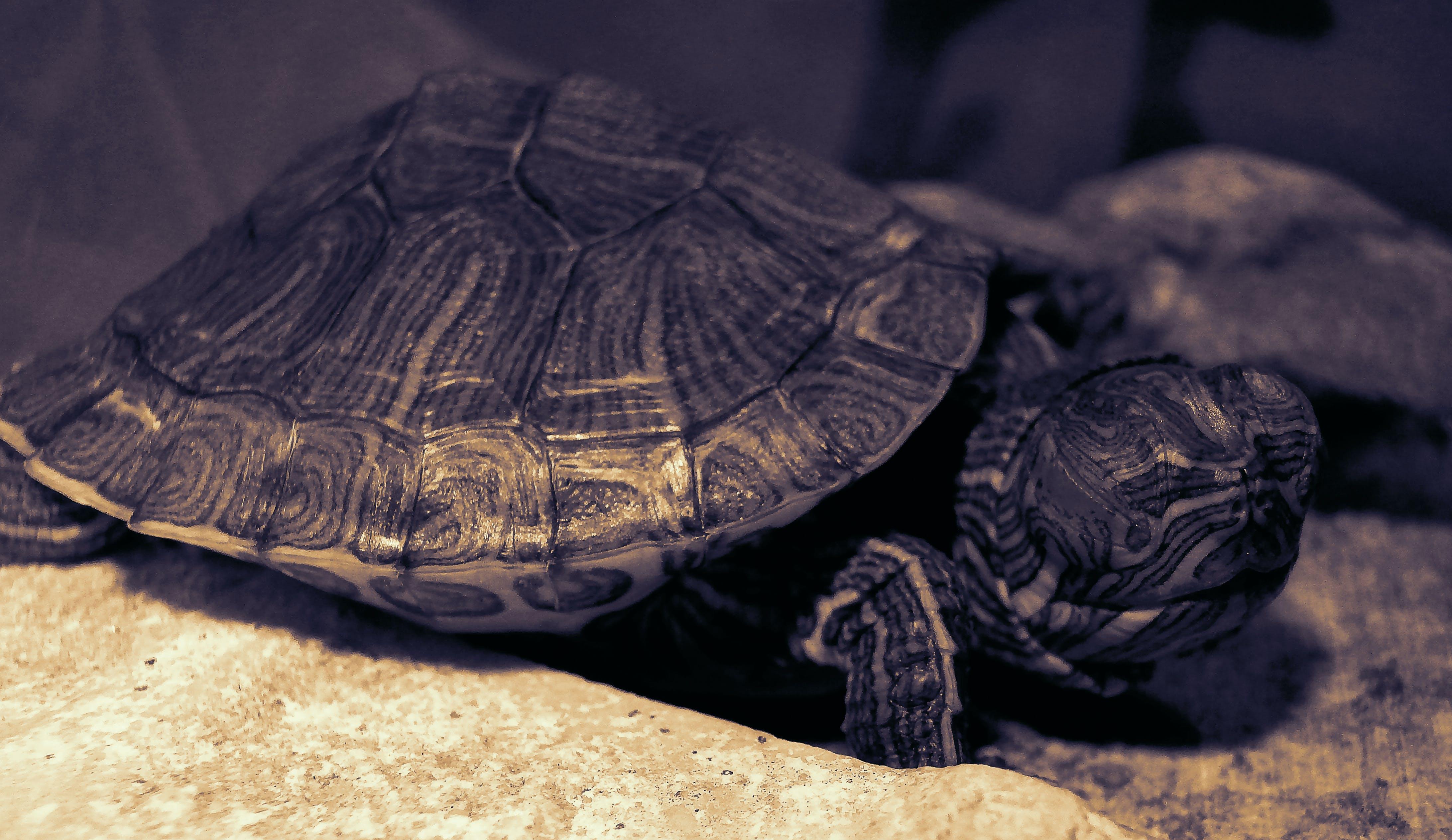 Free stock photo of black and white, sea turtle, turtle