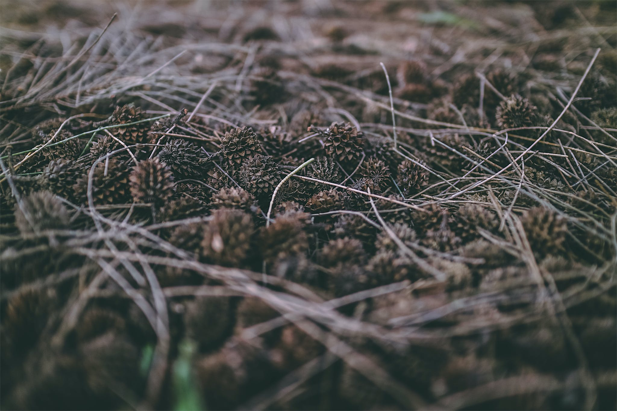Základová fotografie zdarma na téma #seeds #pinetree #plants #leaves #spikes #dark