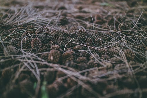 Free stock photo of #seeds #pinetree #plants #leaves #spikes #dark