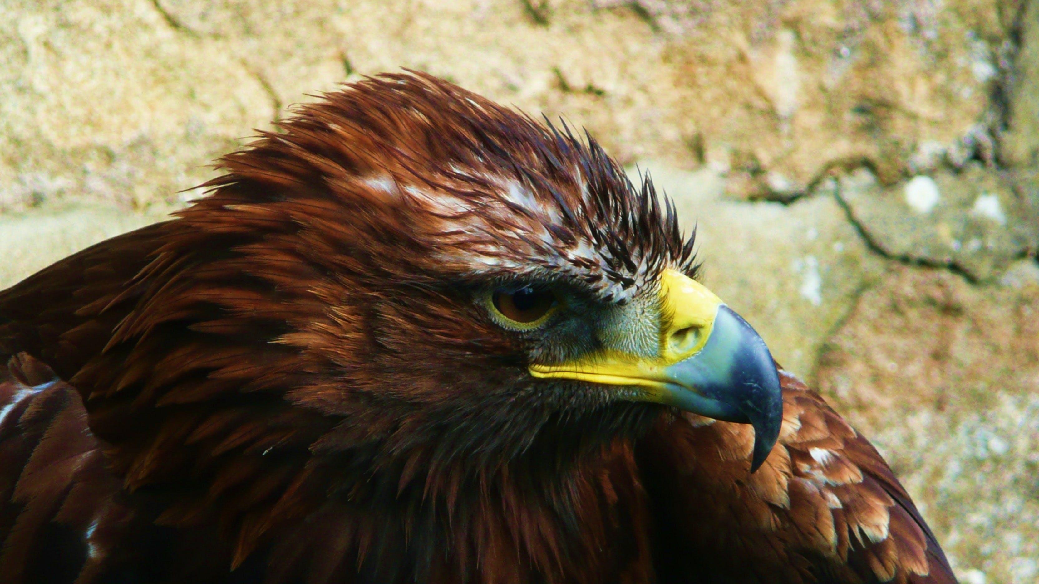 Free stock photo of bird, animal, eagle, predator