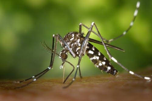 Ingyenes stockfotó az albedictus, ázsiai tigris szúnyog, közelkép, makró témában